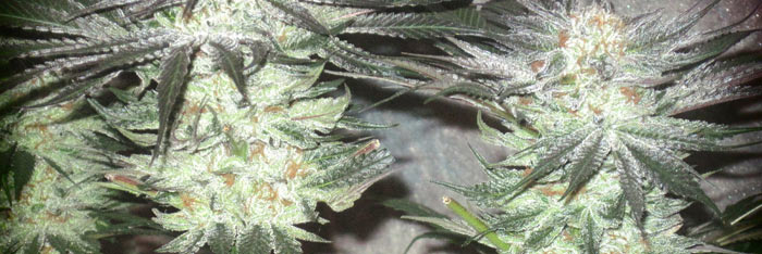 Grow your own personal strain powerful dank mj feminized seeds